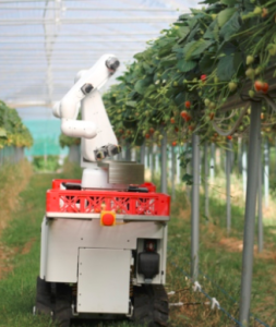 Robot picking strawberries