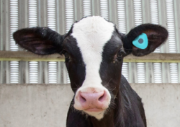 Calf with blue smartbell tag on ear, AgriTech on the farm